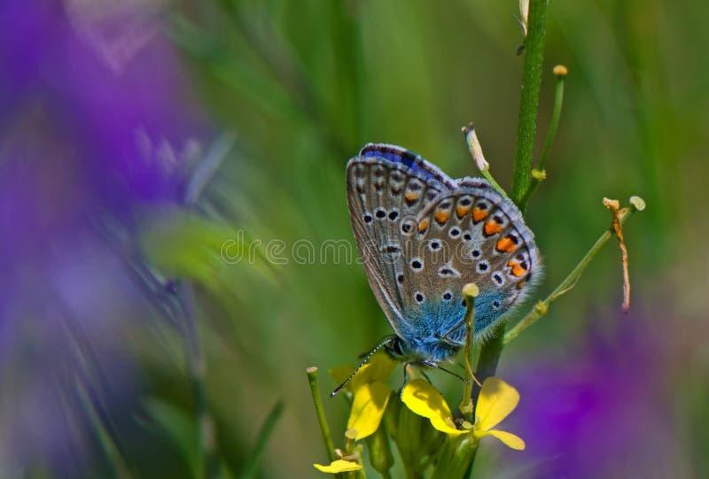 niebieski motyla śledzić wschodni zdjęcie stock