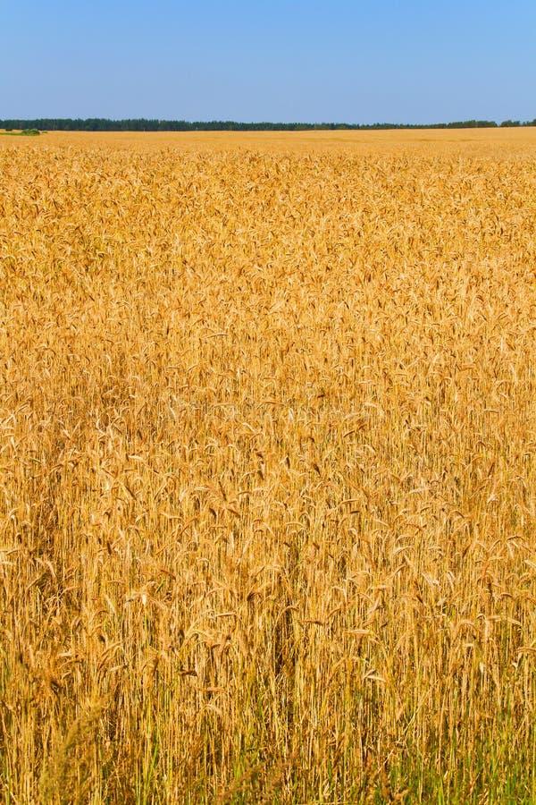 niebieski nieba pola pszenicy fotografia royalty free
