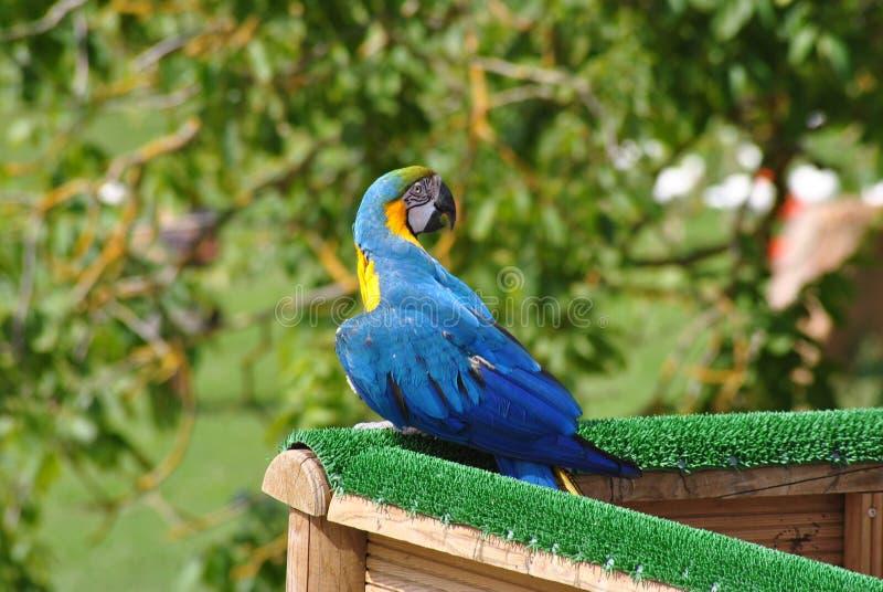 niebieski papuzi żółty fotografia royalty free