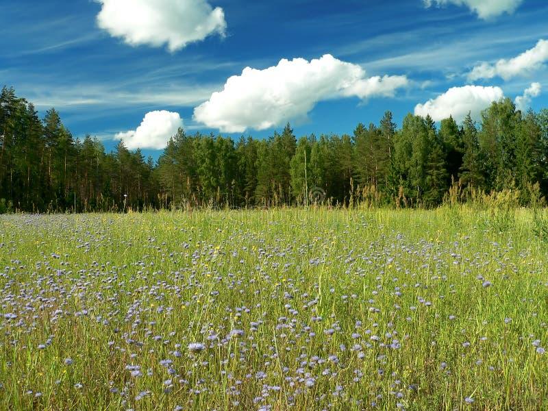 niebieski pola kwiatów obrazy stock