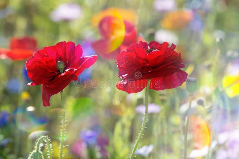 niebieski pole kwiaty trawy nieba łąkowego lato obraz royalty free