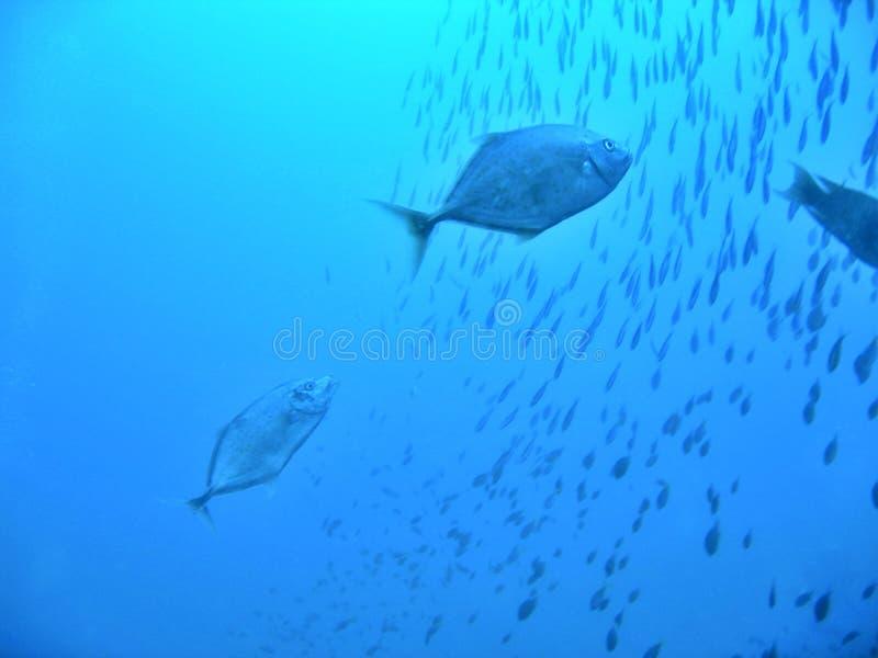 niebieski polowania zdjęcie stock