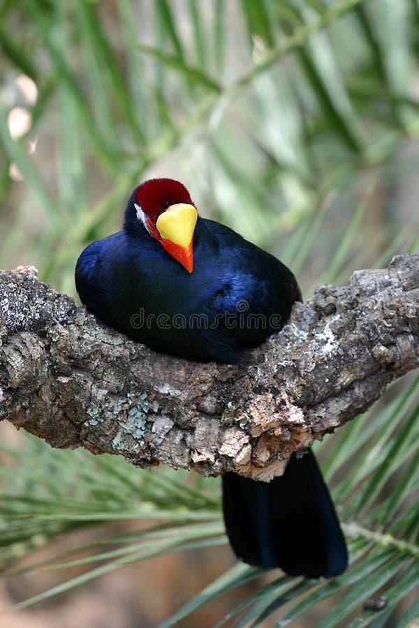 niebieski ptak fotografia stock