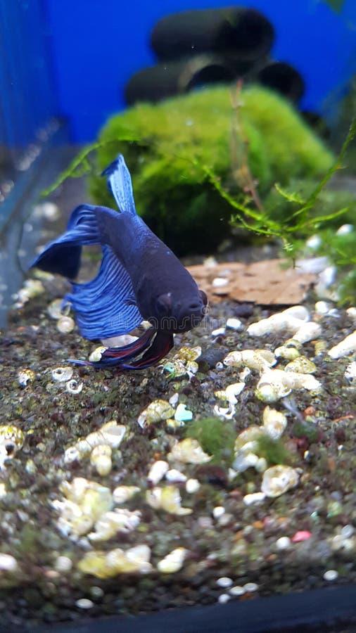 niebieski ryb zdjęcie stock
