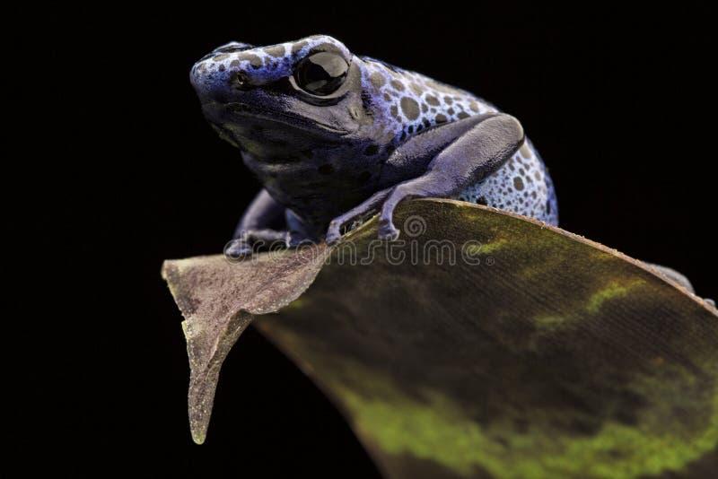 niebieski strzałki żaby truciznę fotografia stock
