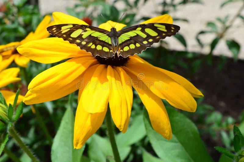 niebieski szczypce motyla zdjęcie stock