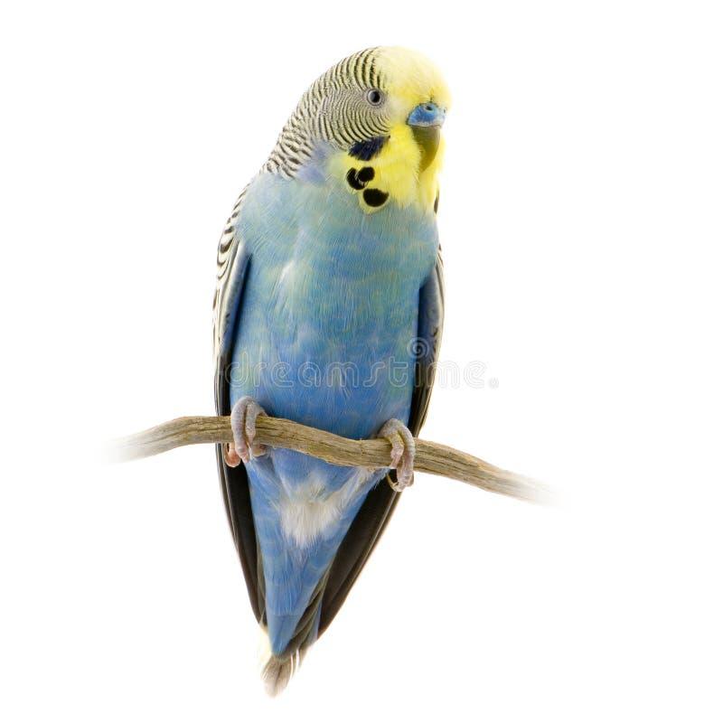 niebieski tutaj przeniosłeś żółty obraz royalty free