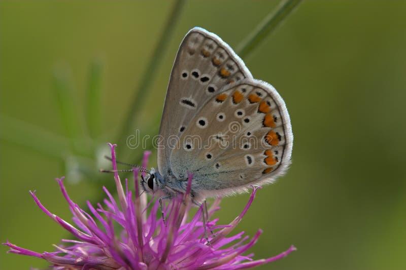 niebieski zbliżenia motyla wspólne zdjęcia royalty free
