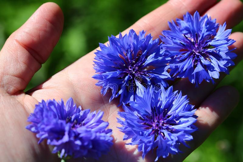 niebieskie cornflowers obraz stock