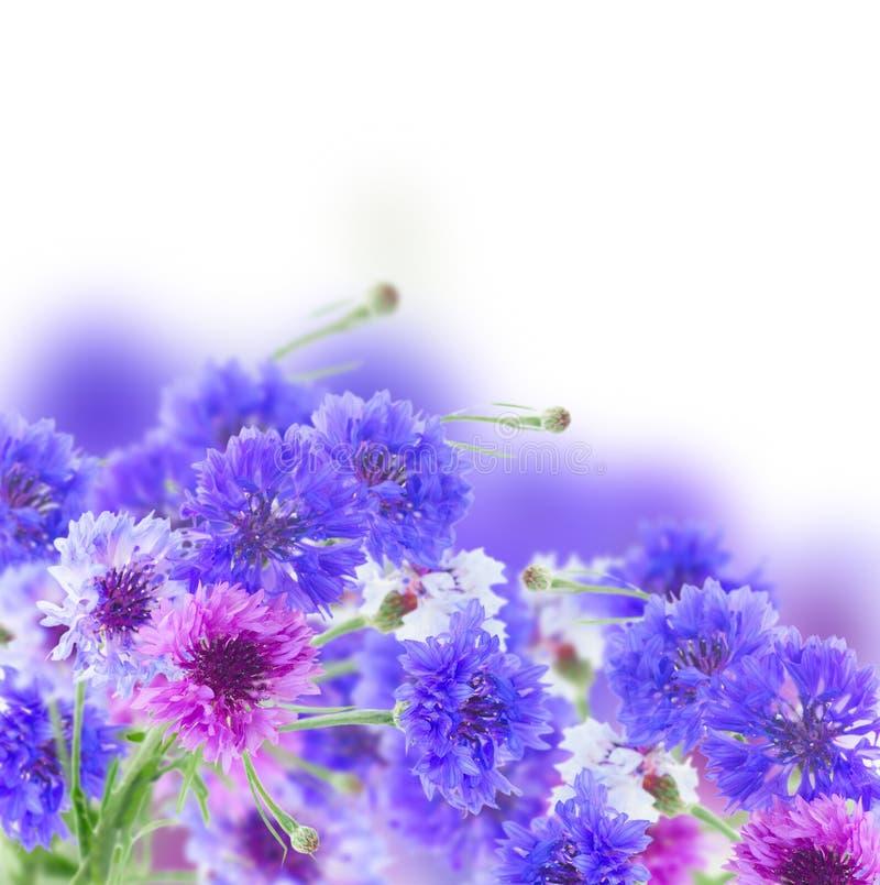 Download Niebieskie cornflowers zdjęcie stock. Obraz złożonej z kwiat - 57671776