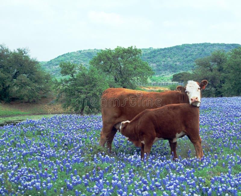 niebieskie czapeczek krowy łydkowy pole obrazy royalty free