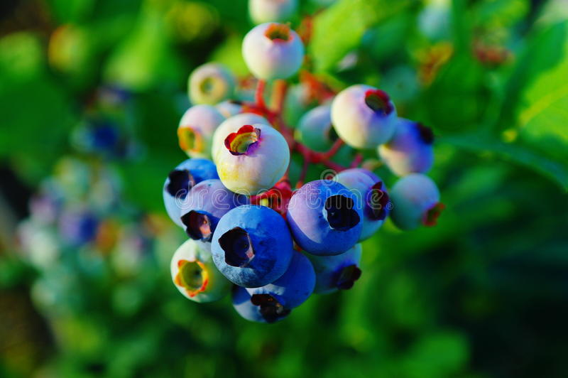 niebieskie jagody fotografia royalty free
