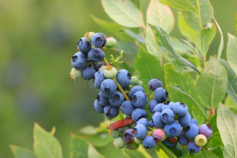 Niebieskie jagody na roślinie obraz stock