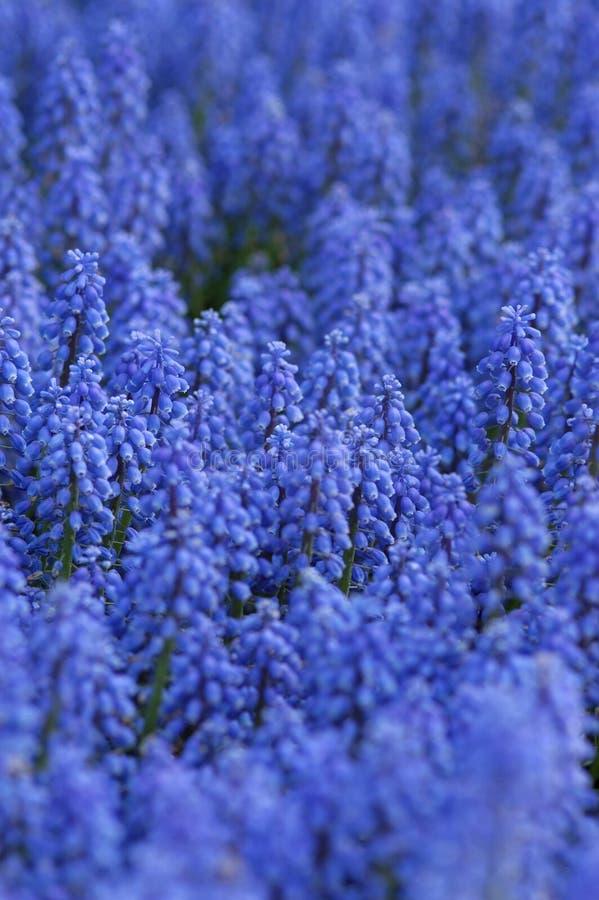 niebieskie jaskrawe kwiaty fotografia stock