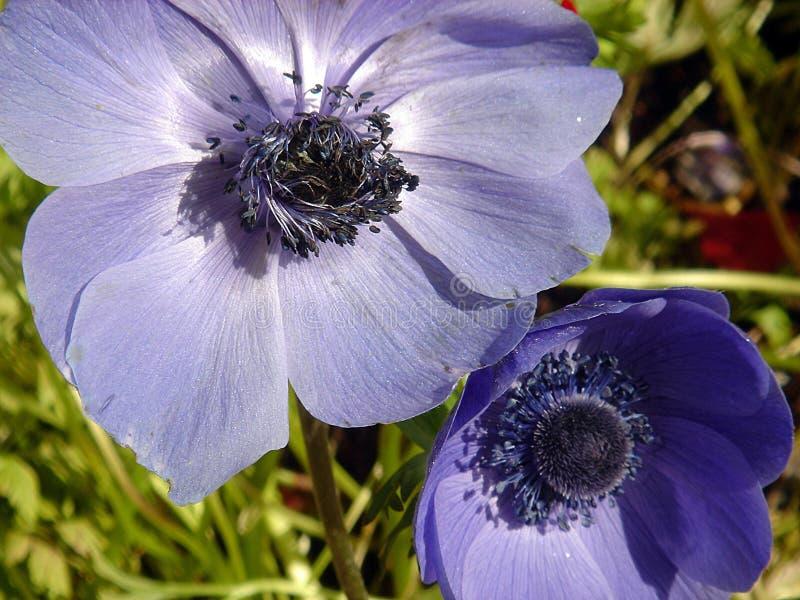 niebieskie maku zdjęcia royalty free