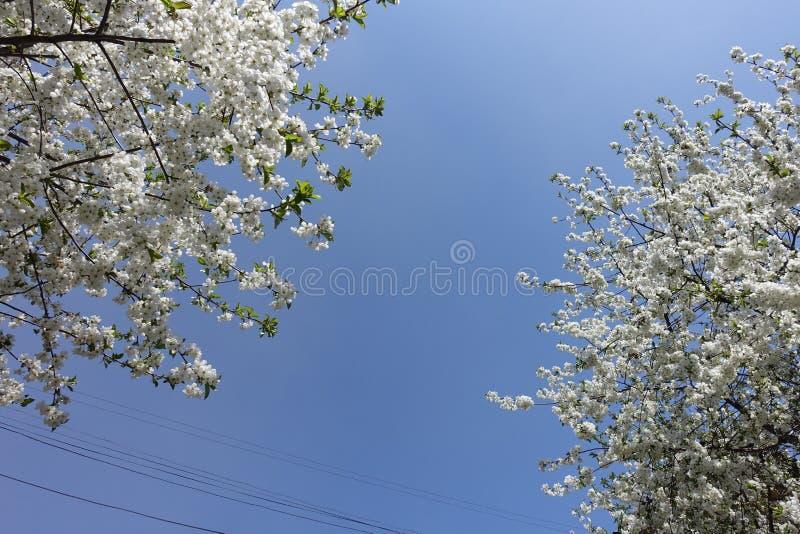 Niebieskie niebo i kwitnąć czereśniowe gałąź zdjęcie royalty free