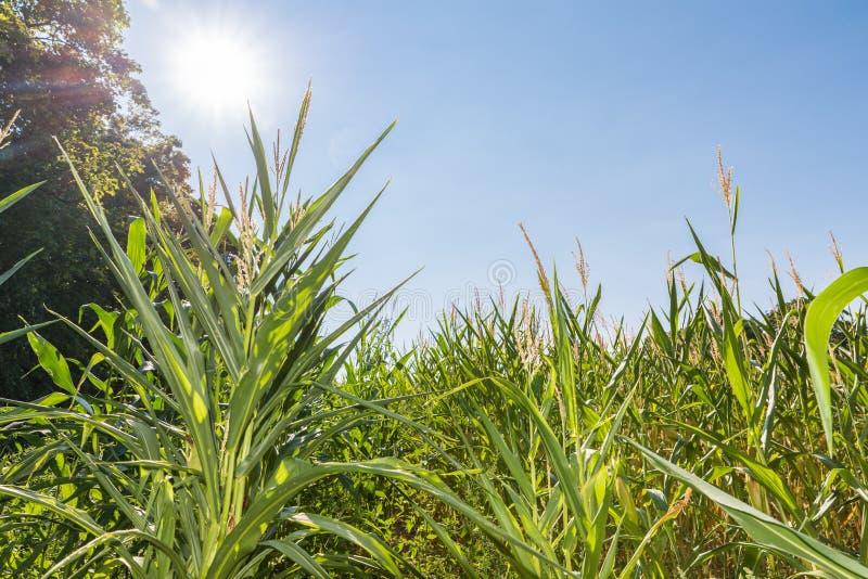 Niebieskie niebo i słońce nad kukurydzanym polem w lecie, Niemcy zdjęcia royalty free