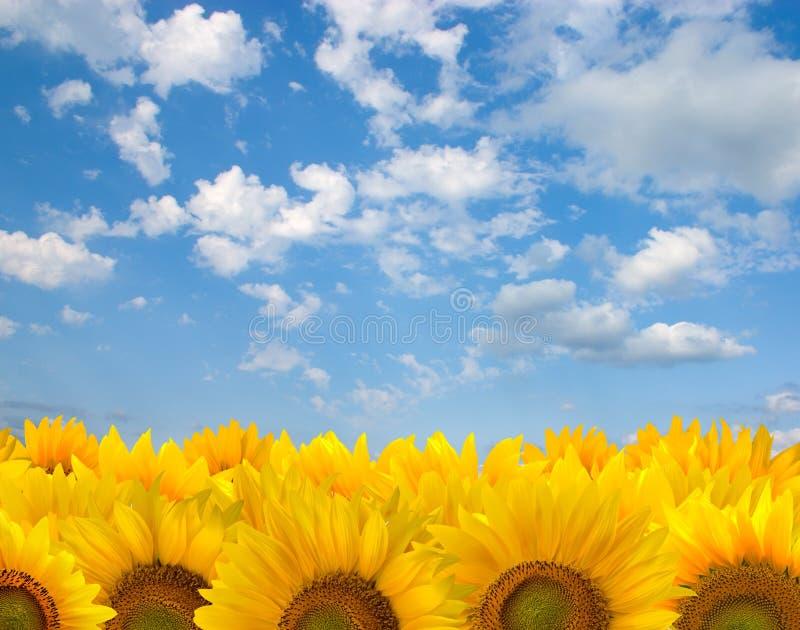 niebieskie niebo słoneczniki zdjęcie royalty free