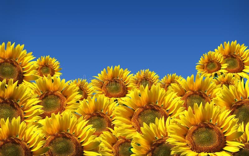 niebieskie niebo słoneczniki obraz stock