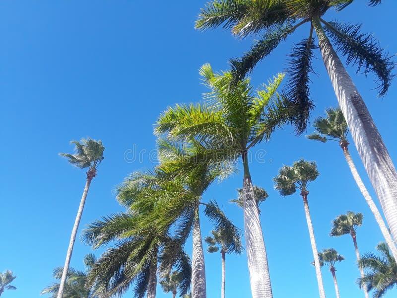niebieskie niebo wysokie drzewa palmowego fotografia stock