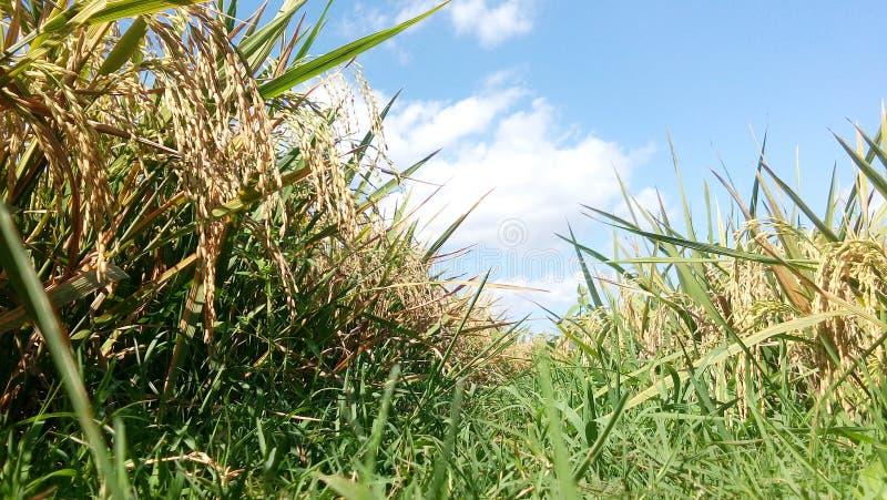 Niebieskie niebo z zielonym liściem ryż uprawia ziemię obraz stock