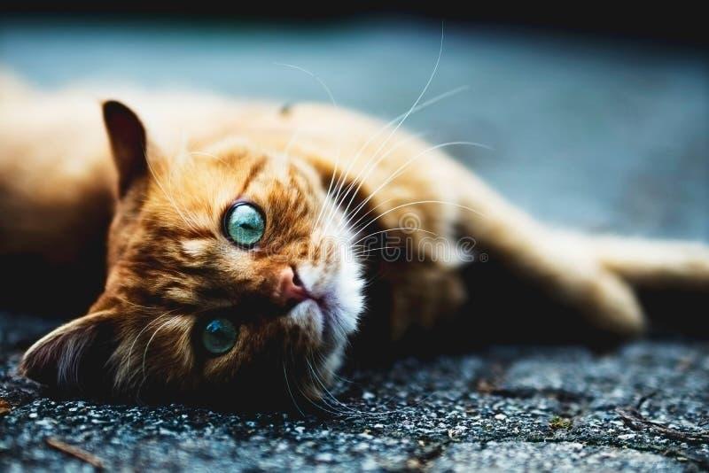 Niebieskie oko kota dosypianie na podłodze obraz stock