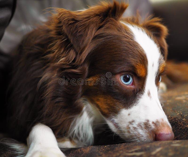 Niebieskie oko psi portret obraz stock