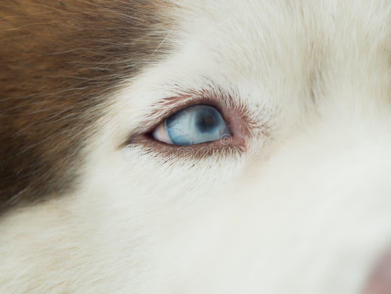 Niebieskie Oko Syberyjski husky zdjęcie stock