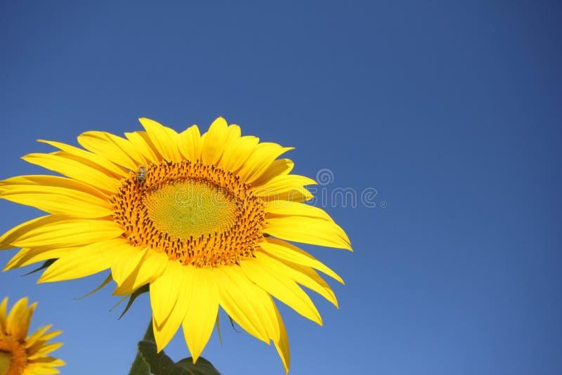 Niebieskiego nieba i słonecznika pole fotografia stock