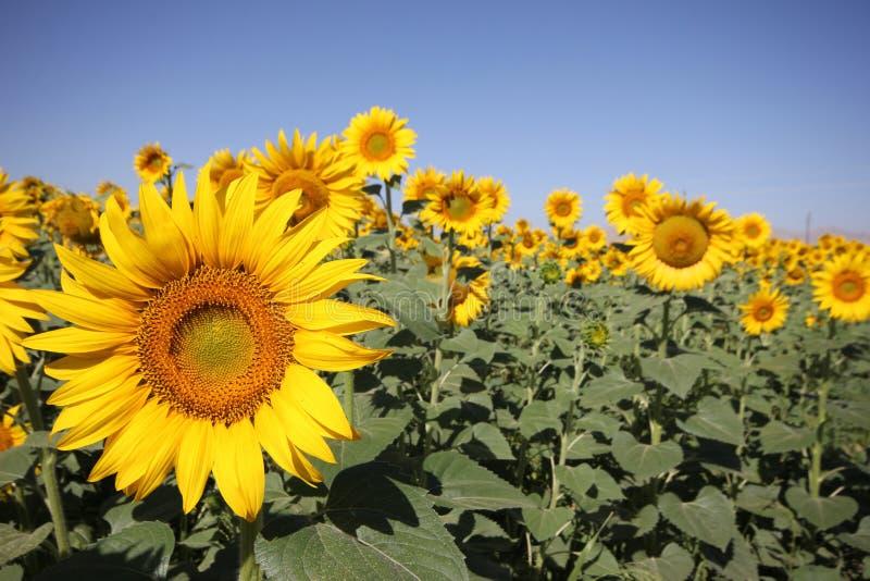 Niebieskiego nieba i słonecznika pole zdjęcie royalty free