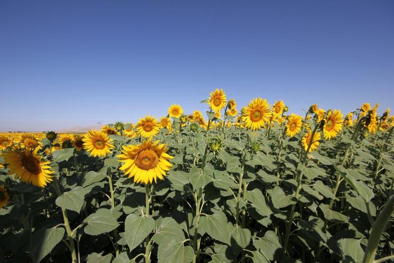 Niebieskiego nieba i słonecznika pole obrazy royalty free