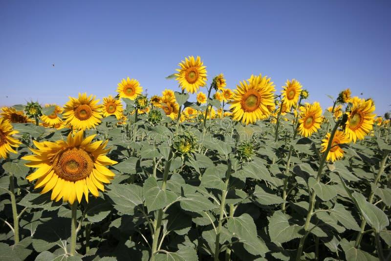 Niebieskiego nieba i słonecznika pole zdjęcia royalty free