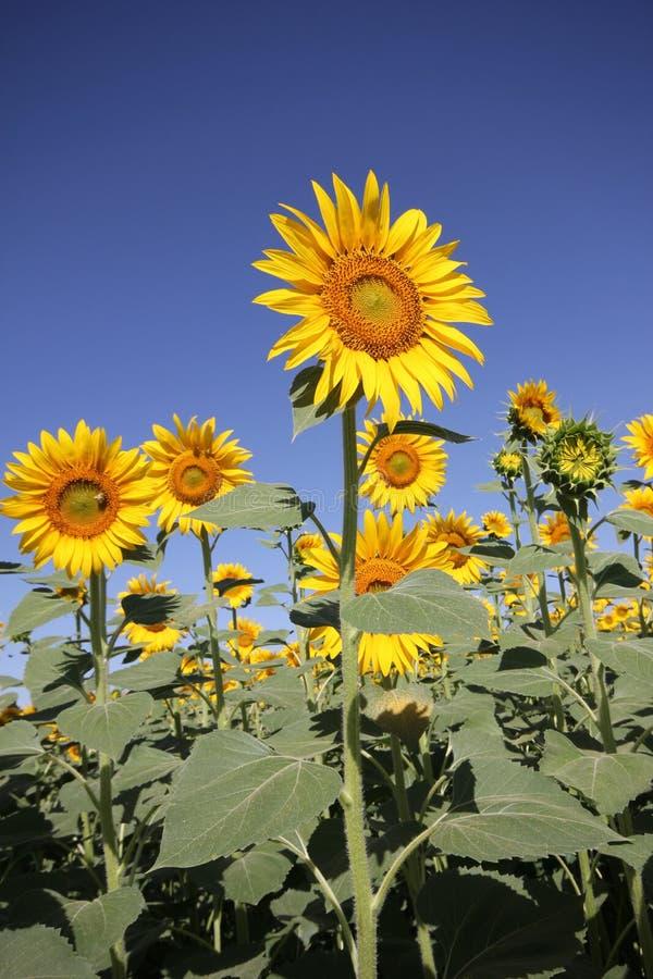 Niebieskiego nieba i słonecznika pole zdjęcie stock
