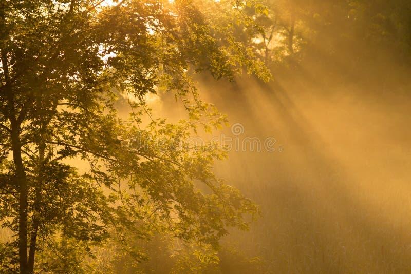 Niebla de la mañana con el árbol de arce fotos de archivo