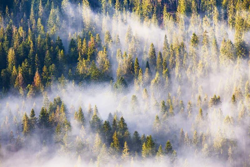 Niebla de la mañana en bosque de la picea y del abeto en luz del sol caliente foto de archivo