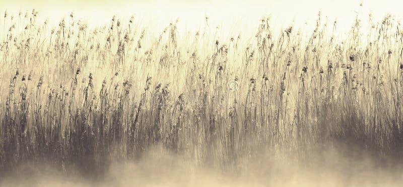 Niebla de la madrugada e hierba de lámina foto de archivo