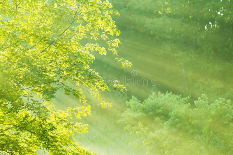 Niebla del arce de la mañana fotos de archivo