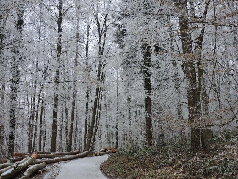 Niebla del invierno en un bosque con los árboles altos en Alemania foto de archivo libre de regalías