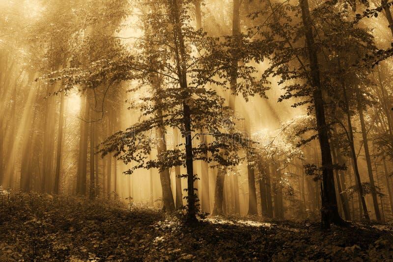Niebla en el bosque del oro imagenes de archivo