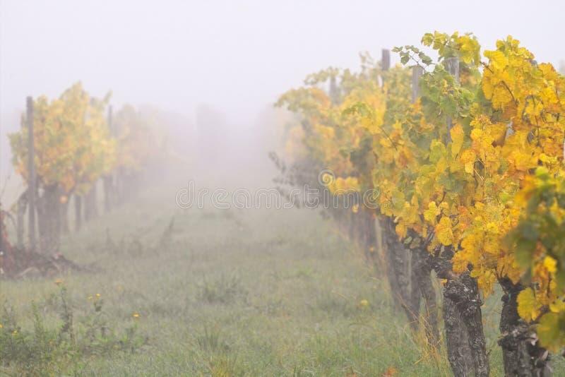 Niebla en wineyards foto de archivo