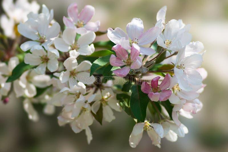 Nieblas rosadas de la primavera 6 fotos de archivo libres de regalías