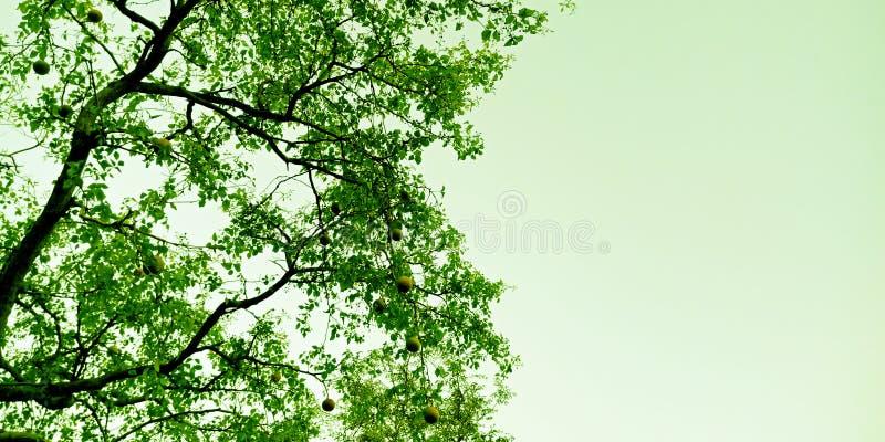Niebo widoku puszek bael drzewa zapasu fotografia obraz stock