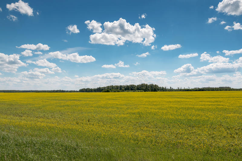 Niebo z chmurami nad polem zakrywającym z żółtymi kwiatami obrazy royalty free