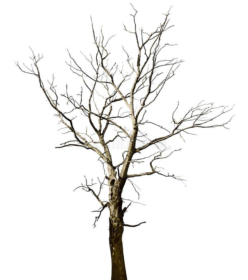 nieboszczyk suszący odosobniony dębowego drzewa biel zdjęcia stock