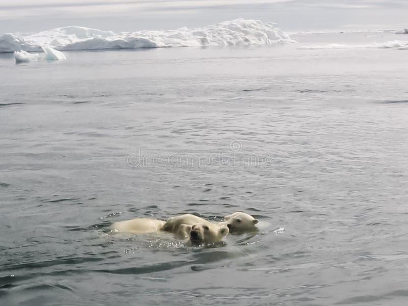 niedźwiedź biegunowy arktycznego zdjęcia stock