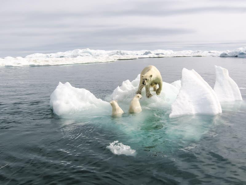 niedźwiedź biegunowy arktycznego obrazy royalty free