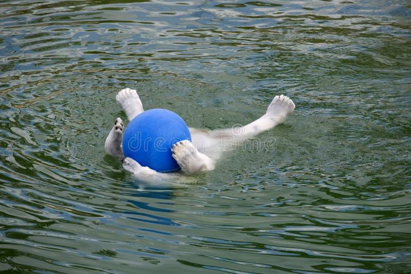 niedźwiadkowa biegunowa pływanie woda obraz stock