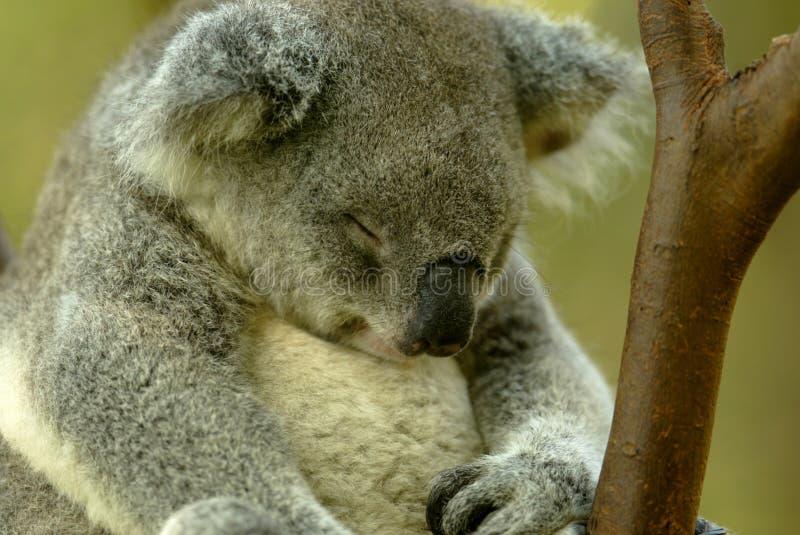niedźwiadkowa koala obrazy stock