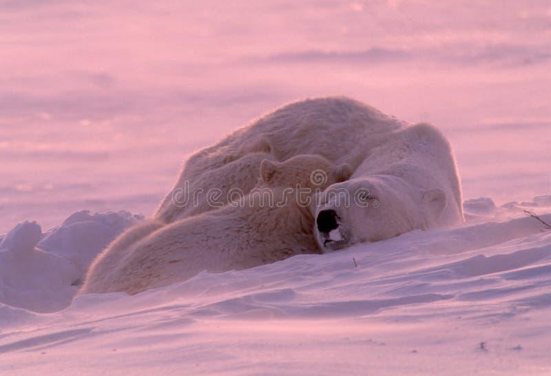 niedźwiadkowego lisiątka matki biegunowy dosypianie fotografia stock