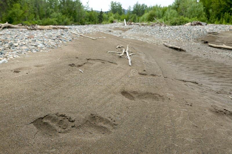 Niedźwiadkowej łapy druki w piasku na Alaskim rzecznym łóżku zdjęcie stock